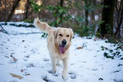 Golden retriever nella foresta nevosa Immagine Stock
