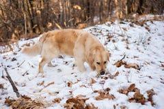 Golden retriever nella foresta nevosa Immagini Stock