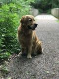 Golden retriever nella foresta svedese immagini stock