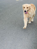 Golden retriever, neun Monate alte, golden retriever-Porträt Lizenzfreies Stockfoto