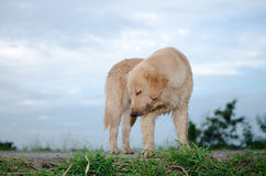 Golden retriever, neun Monate alte, golden retriever-Porträt Lizenzfreies Stockfoto