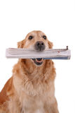 Golden retriever with newspaper Stock Photos