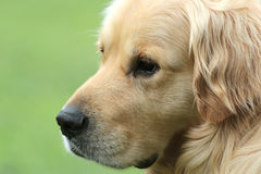 Golden retriever with a nice view Royalty Free Stock Photography