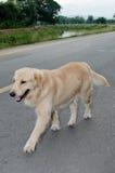 Golden Retriever, nine months old,Golden Retriever Portrait Stock Photo