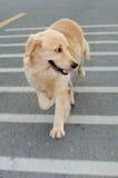Golden Retriever, nine months old,Golden Retriever Portrait Stock Photography
