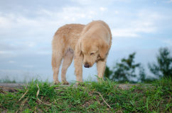 Golden Retriever, nine months old,Golden Retriever Portrait. Golden Retriever is an intelligent dog and the owner to be honest. A cheerful Enthusiasm over the Royalty Free Stock Image