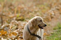 Golden Retriever, nine months old,Golden Retriever Portrait Stock Images