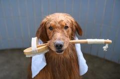 Golden retriever no chuveiro Imagem de Stock Royalty Free