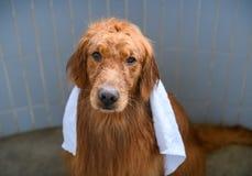 Golden retriever no chuveiro Fotos de Stock