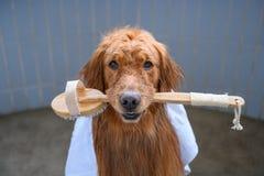Golden retriever no chuveiro Imagens de Stock Royalty Free