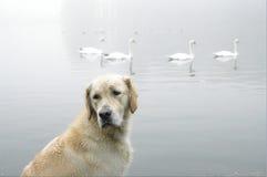 Golden retriever no lago swan Fotos de Stock Royalty Free