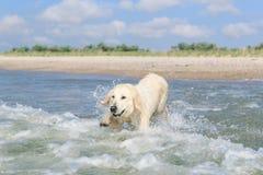 Golden retriever no mar Fotos de Stock