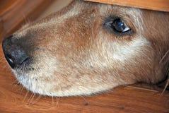 Golden retriever nose under door Royalty Free Stock Photos