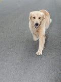 Golden retriever, nove meses velho, retrato do golden retriever Fotos de Stock Royalty Free