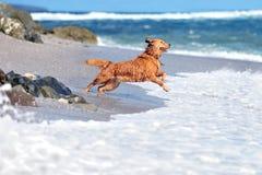Golden retriever novo Fotografia de Stock Royalty Free