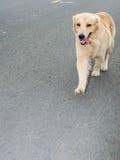 Golden retriever, nueve meses, retrato del golden retriever Foto de archivo libre de regalías