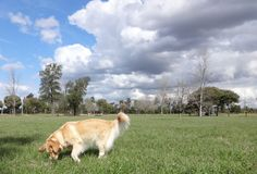 Golden Retriever obwąchuje w parku Zdjęcie Stock