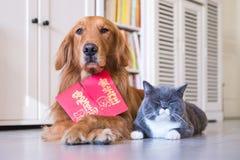 Golden retriever och det brittiska röd kuvertet för shorthair och Royaltyfria Foton