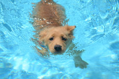 Golden retriever-olympischer Schwimmer stockbild