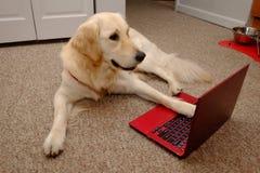 Free Golden Retriever On The Laptop Stock Photos - 179448753