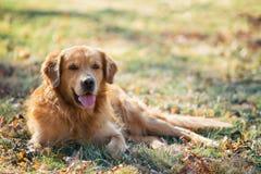 Golden retriever op park Royalty-vrije Stock Afbeeldingen