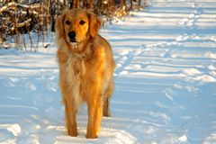 Golden retriever in de Sneeuw van de Winter Royalty-vrije Stock Foto