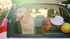 Golden retriever in open car trunk