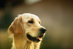 Golden retriever outdoor. Close-up of golden retriever outdoor stock image