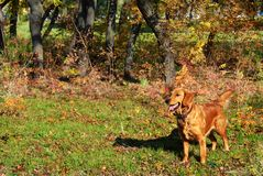 Golden retriever outdoor Royalty Free Stock Images