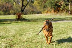 Golden retriever outdoor Royalty Free Stock Photo