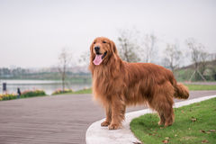 The Golden Retriever in the outdoor on the grass Stock Photography