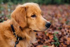 Golden retriever outdoor portrait