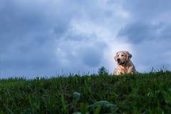 Golden Retriever Outdoor Portrait. Golden Retriever posing for an outdoor portrait on a cloudy day Stock Image