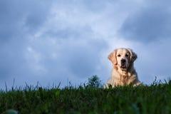 Golden Retriever Outdoor Portrait. Golden Retriever posing for an outdoor portrait on a cloudy day Stock Images