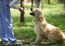 Golden Retriever outdoor training process Stock Photography