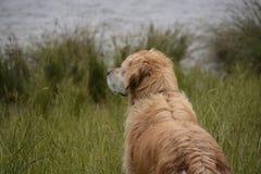 Golden retriever. Over looking a lake Stock Photos