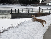 Golden retriever over a snowbank Royalty Free Stock Photo