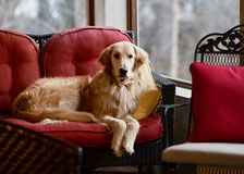 Golden retriever på den röda soffan arkivbilder