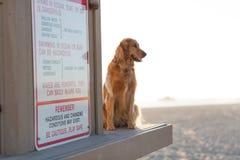 Golden retriever på stranden Arkivfoto