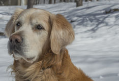 Golden retriever på vit snö Arkivfoto