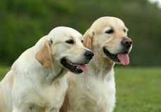 Golden retriever pair Royalty Free Stock Photo