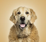 Golden retriever panting, on beige background Royalty Free Stock Image