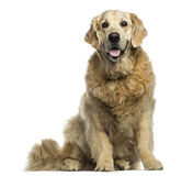 Golden retriever panting, sitting, isolated Stock Image