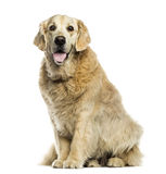 Golden retriever panting, sitting, isolated Royalty Free Stock Photo