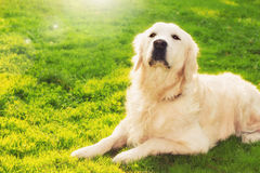 Golden retriever in the park. At sunset Stock Photo