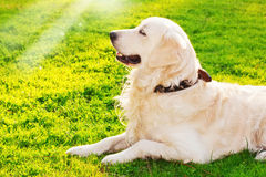 Golden retriever in the park. At sunset Royalty Free Stock Image