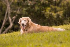 Golden retriever in the park stock image