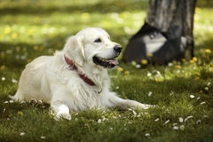 Golden retriever in park Stock Photography