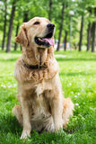 Golden Retriever in the park Stock Photo