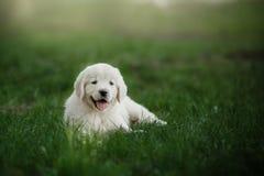 Golden retriever pequeno do cachorrinho Fotos de Stock
